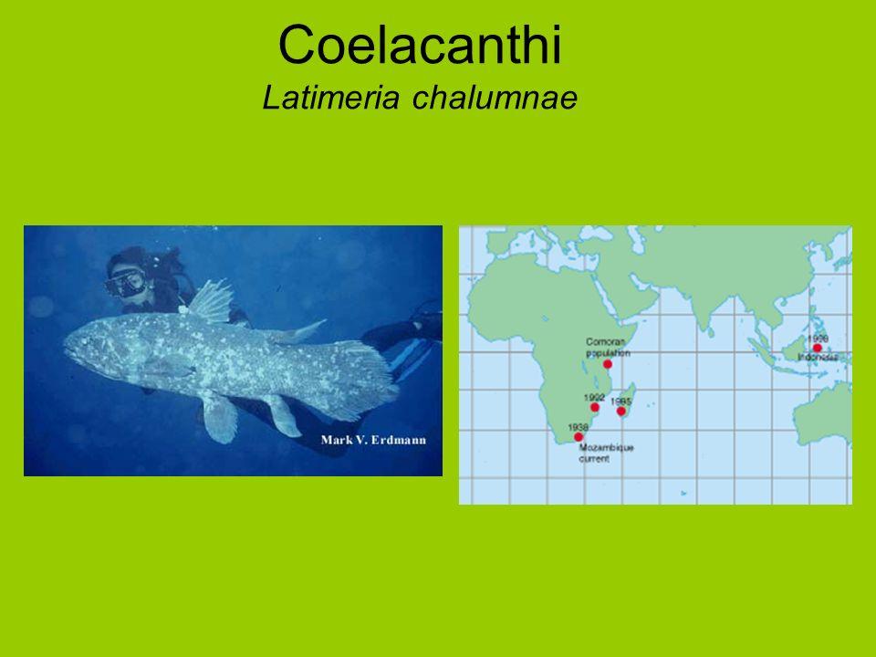 Coelacanthi Latimeria chalumnae