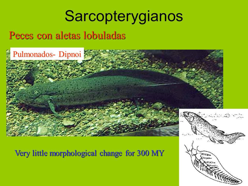 Sarcopterygianos Peces con aletas lobuladas Pulmonados- Dipnoi