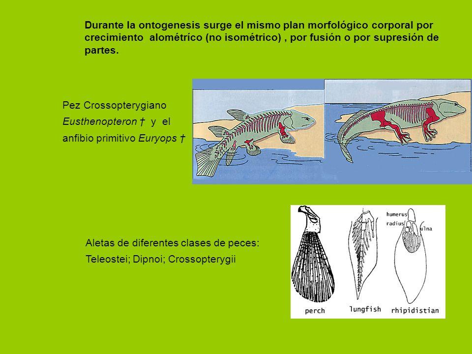 Durante la ontogenesis surge el mismo plan morfológico corporal por crecimiento alométríco (no isométrico) , por fusión o por supresión de partes.