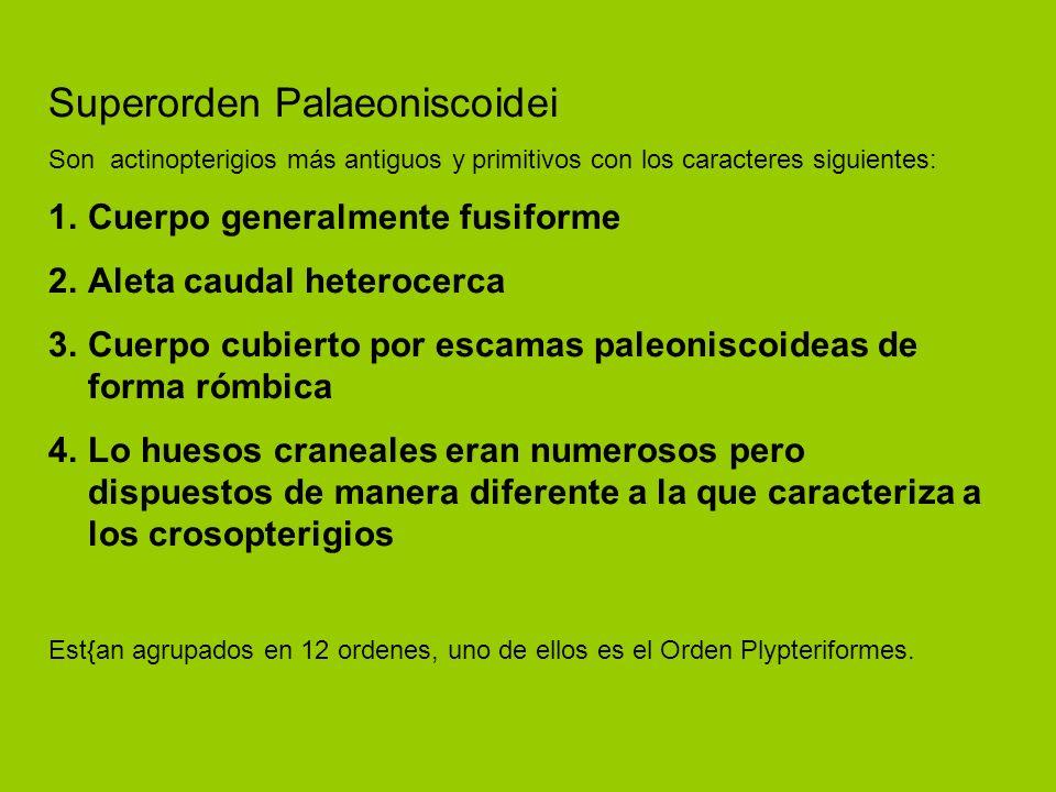 Superorden Palaeoniscoidei