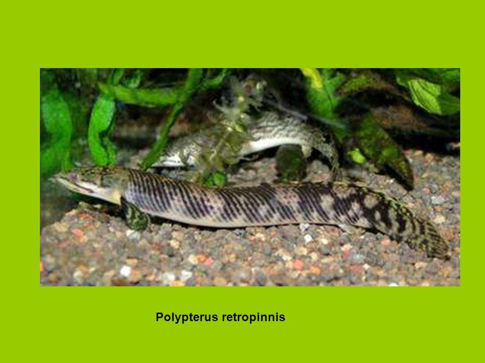 Polypterus retropinnis