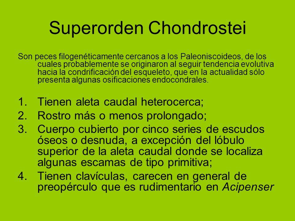 Superorden Chondrostei
