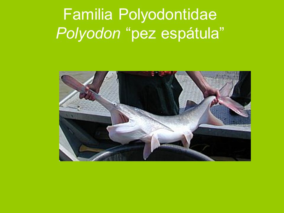 Familia Polyodontidae Polyodon pez espátula