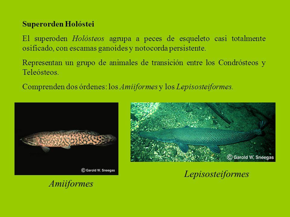 Lepisosteiformes Amiiformes Superorden Holóstei