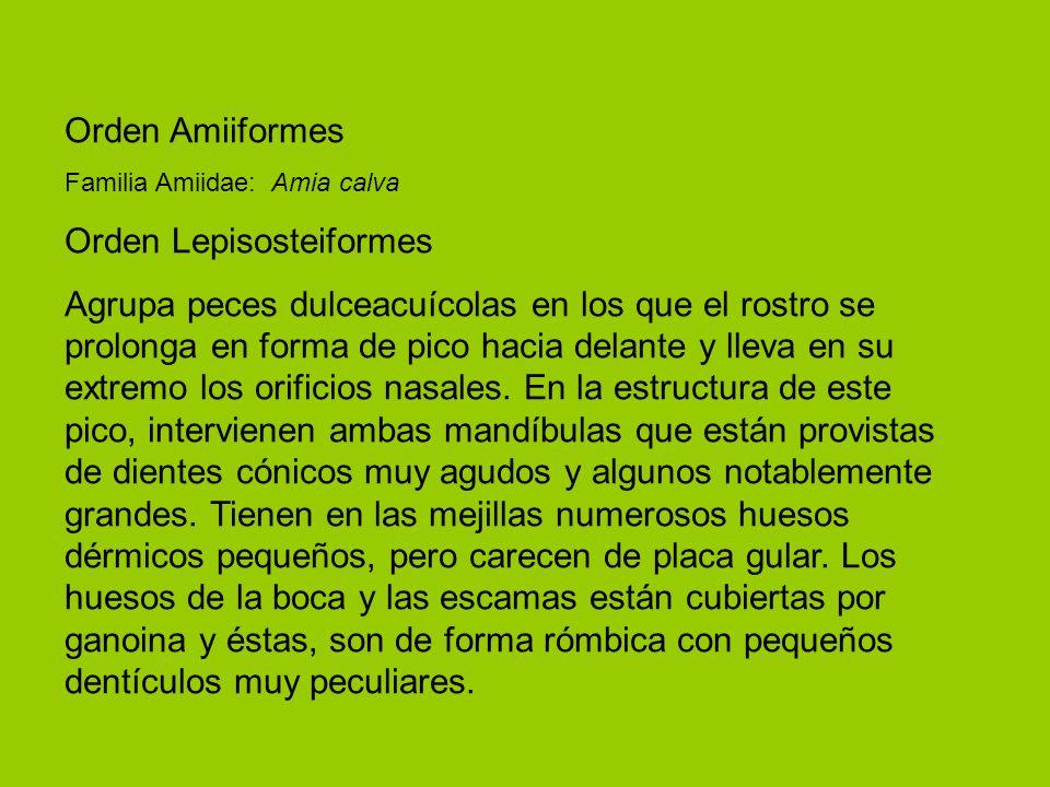 Orden Lepisosteiformes