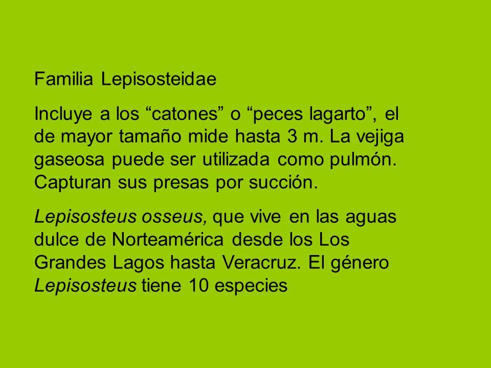 Familia Lepisosteidae