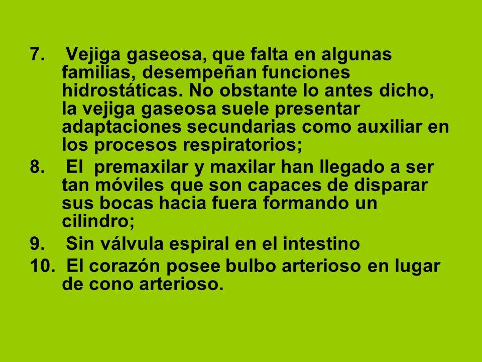 7. Vejiga gaseosa, que falta en algunas familias, desempeñan funciones hidrostáticas. No obstante lo antes dicho, la vejiga gaseosa suele presentar adaptaciones secundarias como auxiliar en los procesos respiratorios;