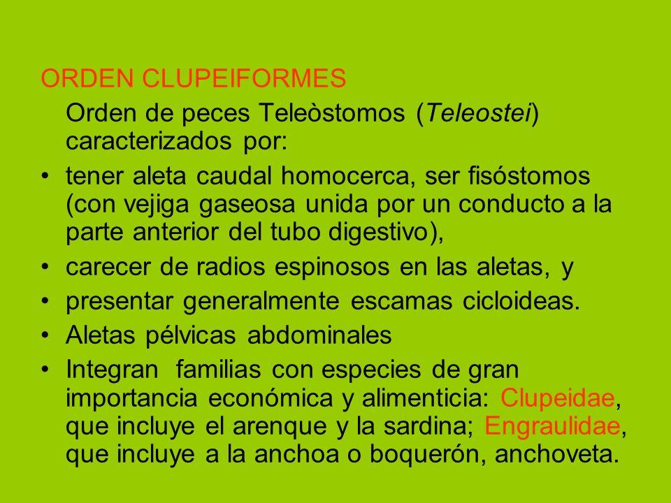 ORDEN CLUPEIFORMES Orden de peces Teleòstomos (Teleostei) caracterizados por:
