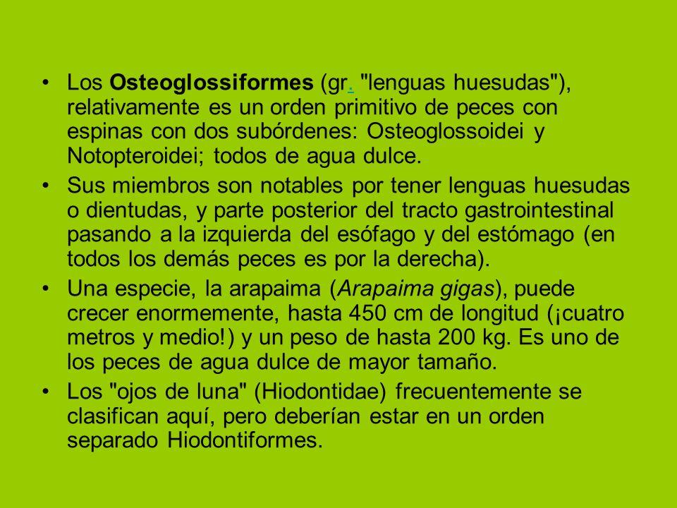Los Osteoglossiformes (gr