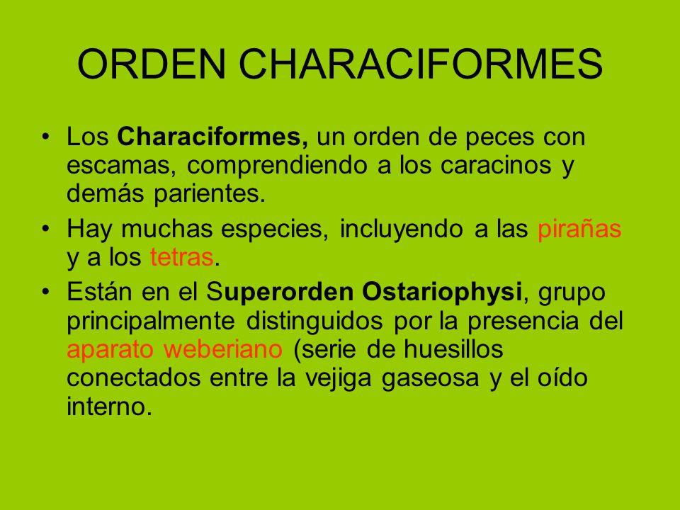 ORDEN CHARACIFORMES Los Characiformes, un orden de peces con escamas, comprendiendo a los caracinos y demás parientes.