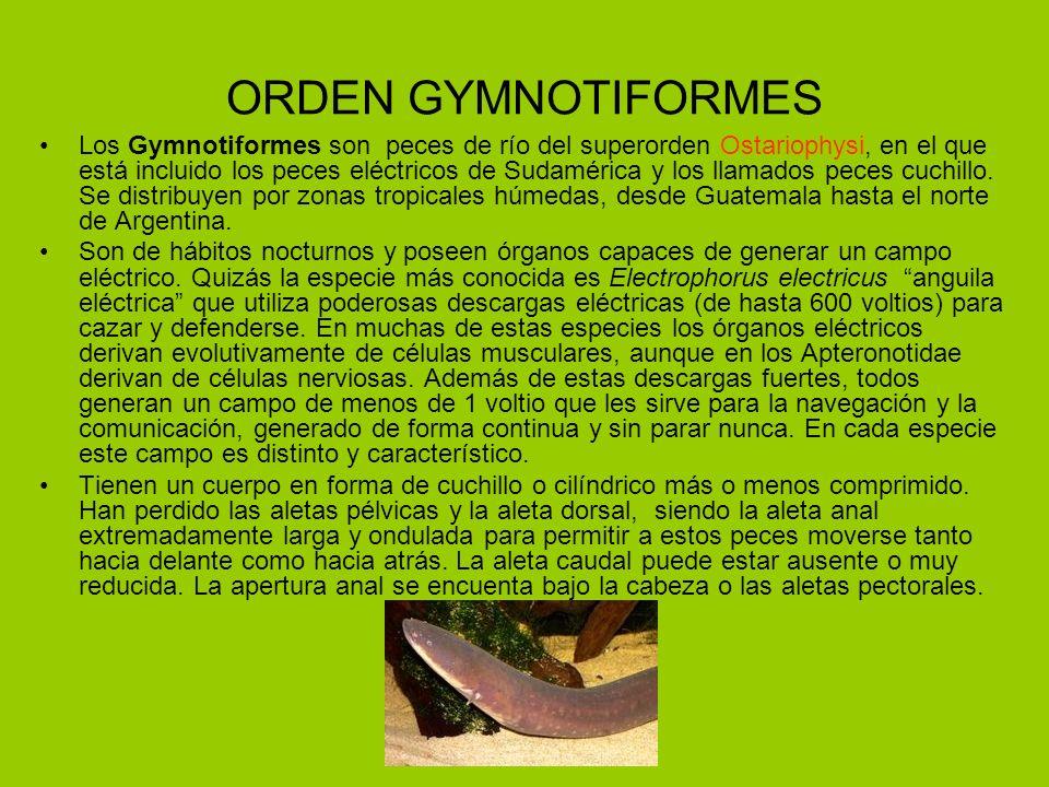 ORDEN GYMNOTIFORMES