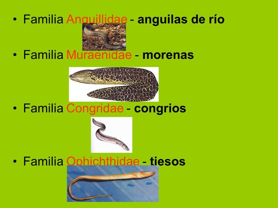 Familia Anguillidae - anguilas de río