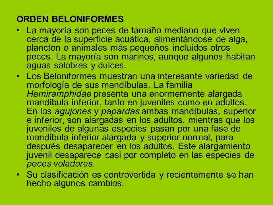 ORDEN BELONIFORMES