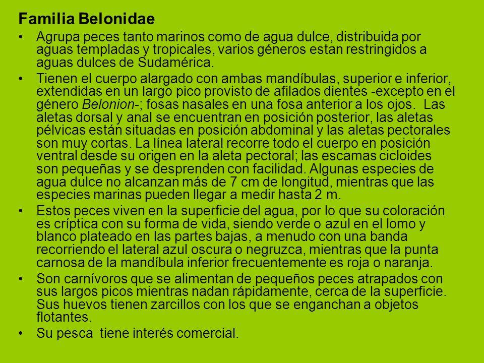 Familia Belonidae
