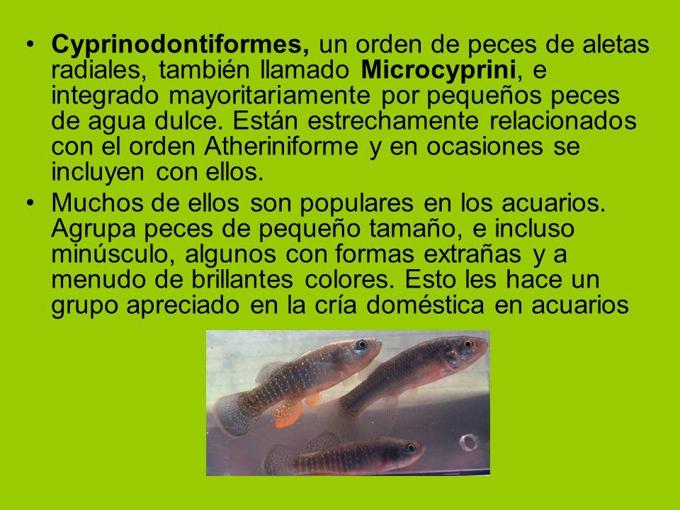 Cyprinodontiformes, un orden de peces de aletas radiales, también llamado Microcyprini, e integrado mayoritariamente por pequeños peces de agua dulce. Están estrechamente relacionados con el orden Atheriniforme y en ocasiones se incluyen con ellos.