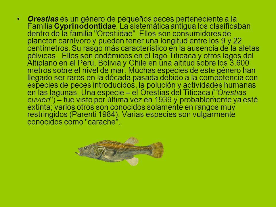 Orestias es un género de pequeños peces perteneciente a la Familia Cyprinodontidae.