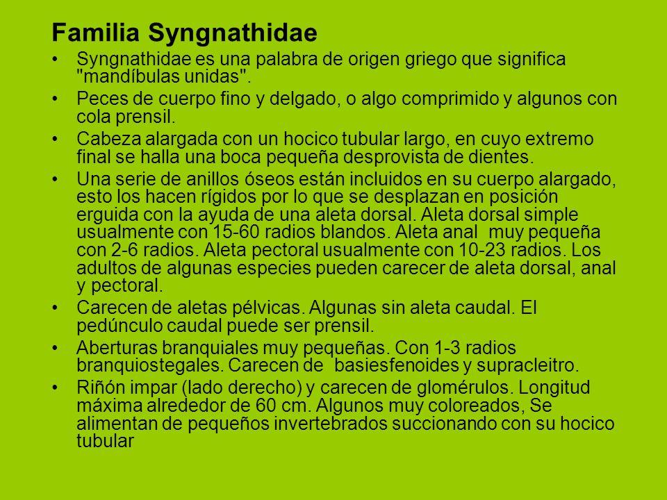 Familia Syngnathidae Syngnathidae es una palabra de origen griego que significa mandíbulas unidas .