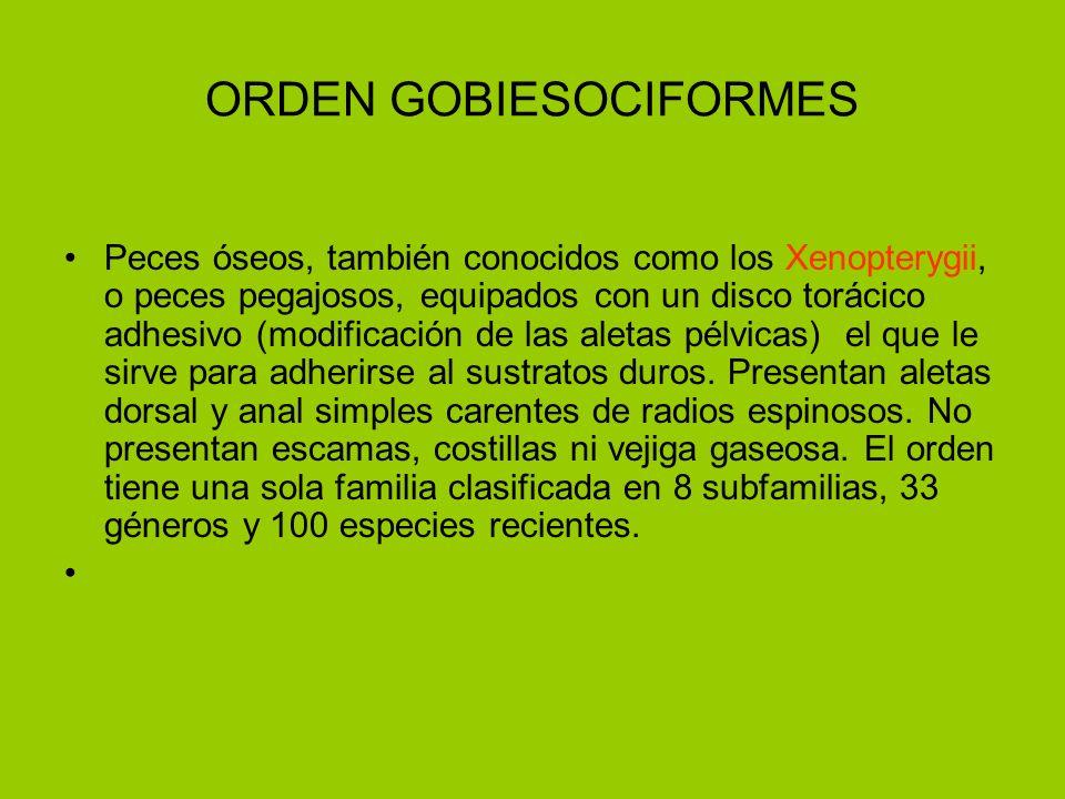 ORDEN GOBIESOCIFORMES