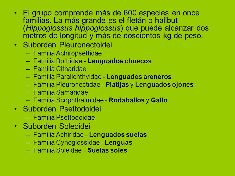 Suborden Pleuronectoidei