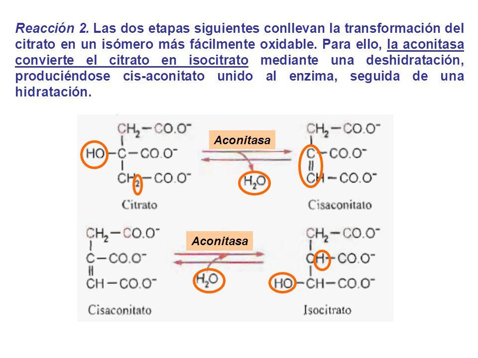 Reacción 2. Las dos etapas siguientes conllevan la transformación del citrato en un isómero más fácilmente oxidable. Para ello, la aconitasa convierte el citrato en isocitrato mediante una deshidratación, produciéndose cis-aconitato unido al enzima, seguida de una hidratación.