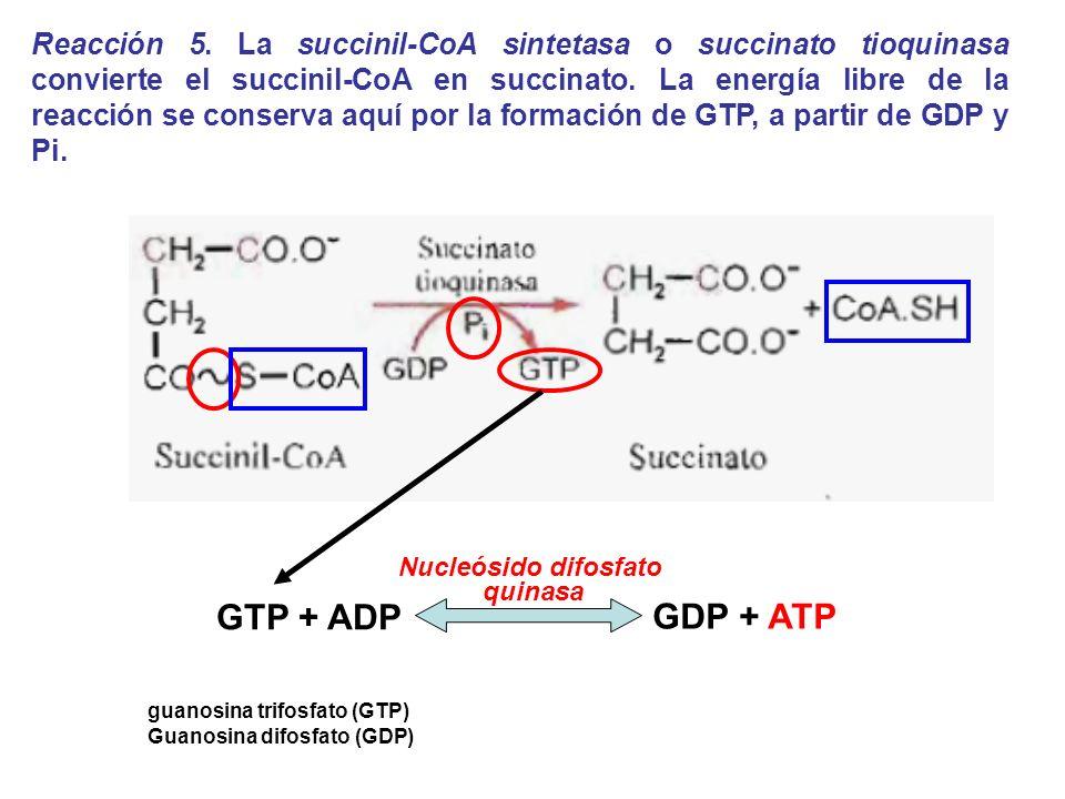 Reacción 5. La succinil-CoA sintetasa o succinato tioquinasa convierte el succinil-CoA en succinato. La energía libre de la reacción se conserva aquí por la formación de GTP, a partir de GDP y Pi.