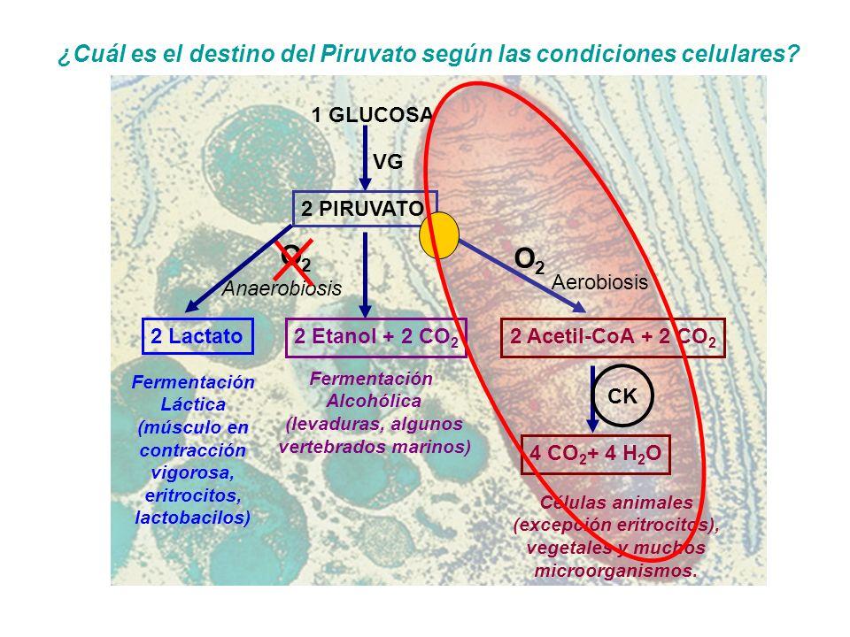 (músculo en contracción vigorosa, eritrocitos, lactobacilos)