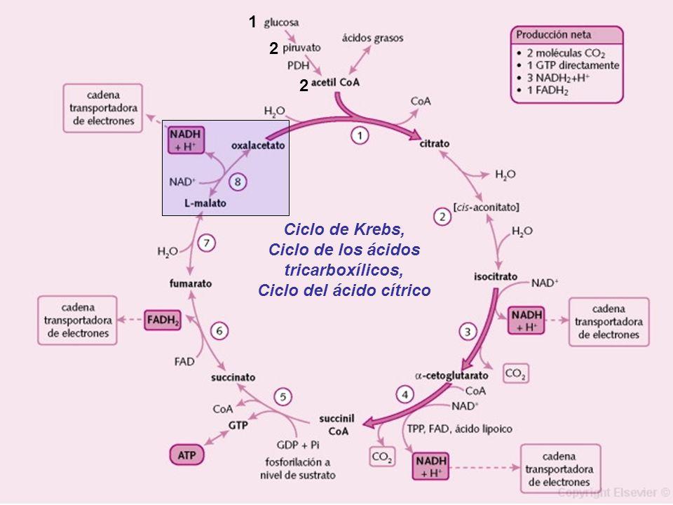 Ciclo de los ácidos tricarboxílicos, Ciclo del ácido cítrico