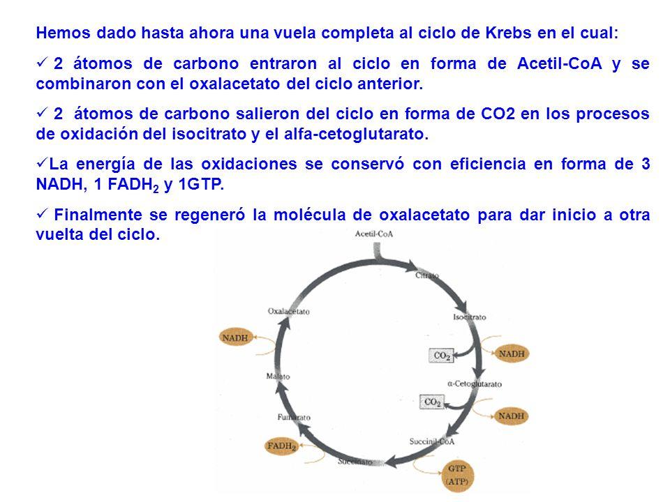 Hemos dado hasta ahora una vuela completa al ciclo de Krebs en el cual: