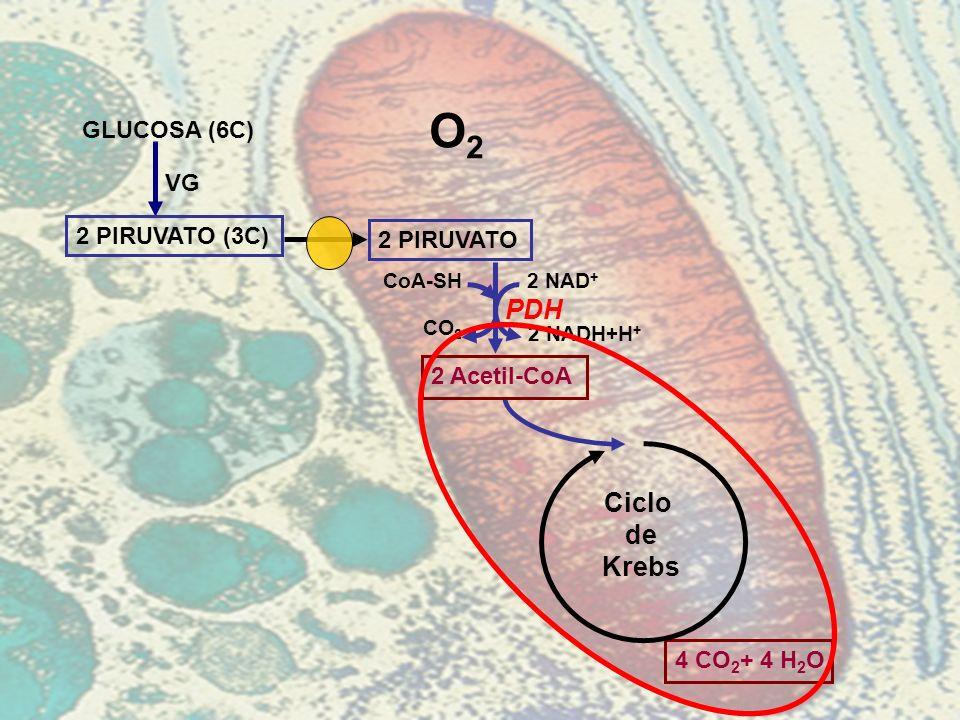 O2 PDH Ciclo de Krebs GLUCOSA (6C) VG 2 PIRUVATO (3C) 2 PIRUVATO