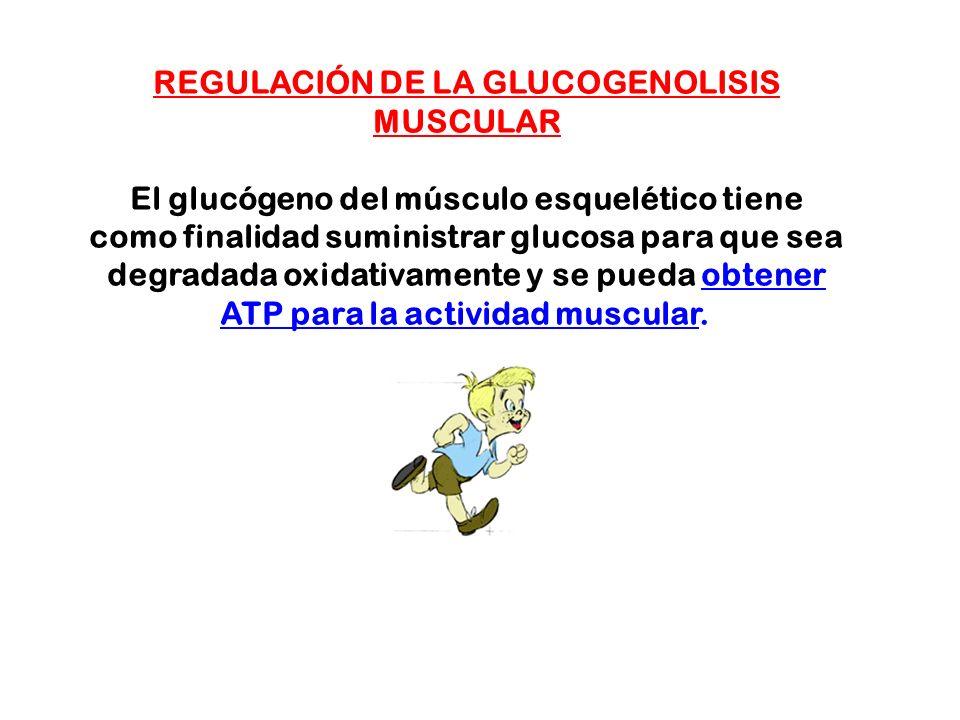 REGULACIÓN DE LA GLUCOGENOLISIS MUSCULAR