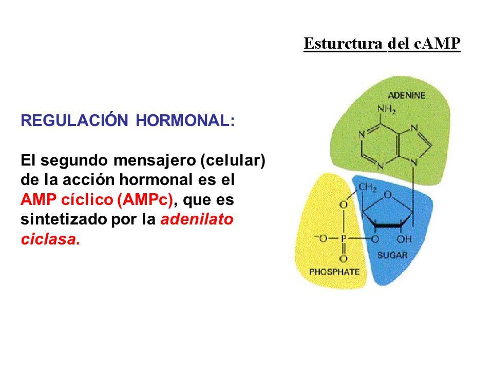 REGULACIÓN HORMONAL: El segundo mensajero (celular) de la acción hormonal es el AMP cíclico (AMPc), que es sintetizado por la adenilato ciclasa.