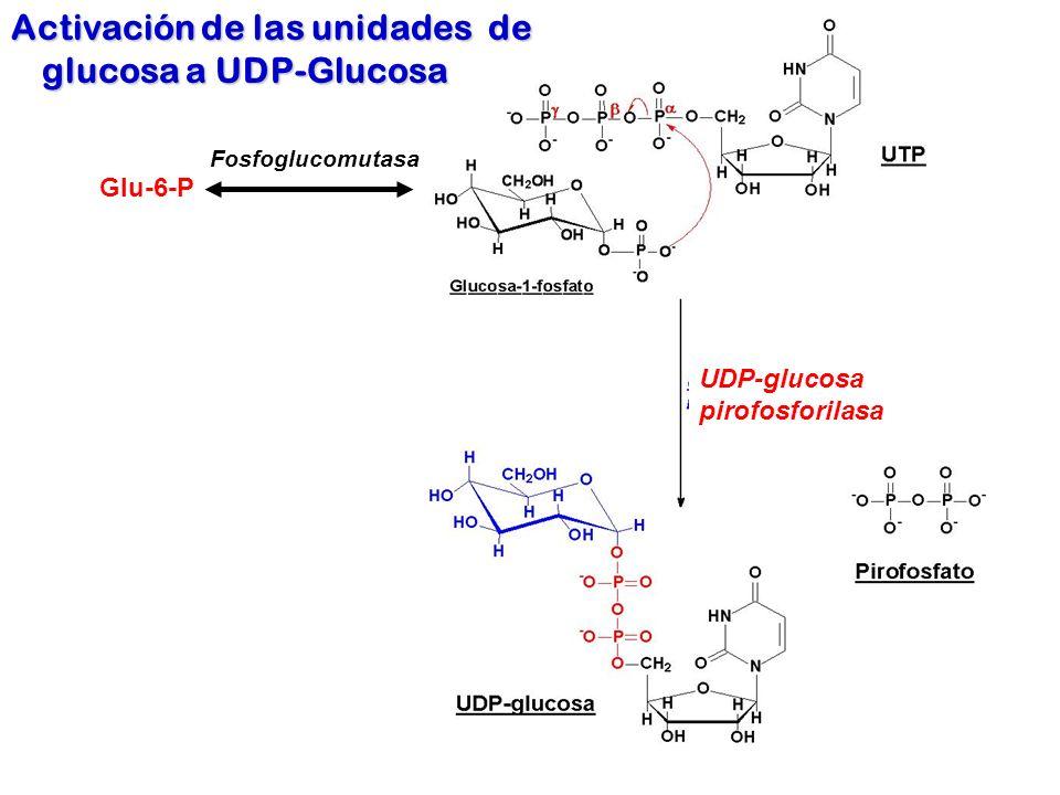 Activación de las unidades de glucosa a UDP-Glucosa