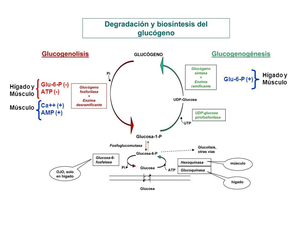 Glu-6-P (+) Hígado y Músculo Glu-6-P (-) ATP (-) Ca++ (+) AMP (+) Hígado y Músculo