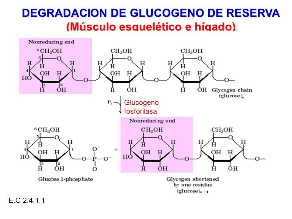 DEGRADACION DE GLUCOGENO DE RESERVA (Músculo esquelético e hígado)