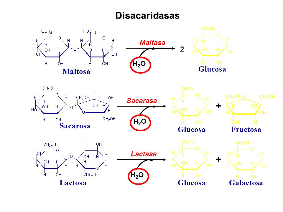 Disacaridasas + + Maltosa Glucosa Sacarosa Glucosa Fructosa Lactosa