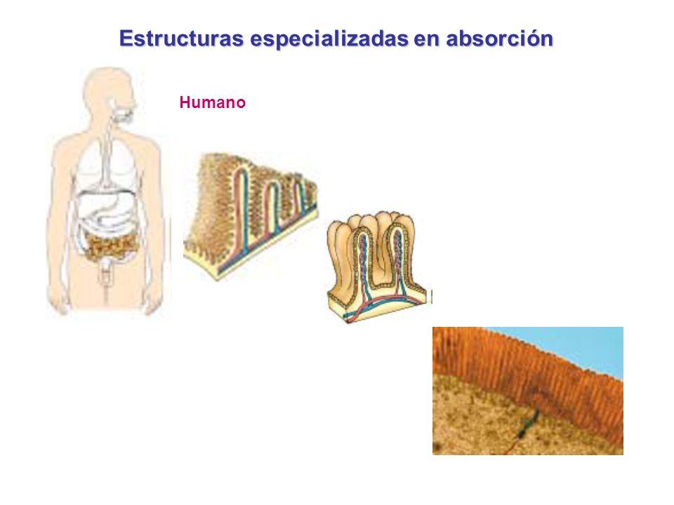 Estructuras especializadas en absorción