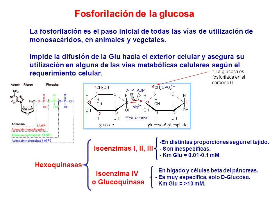 Fosforilación de la glucosa