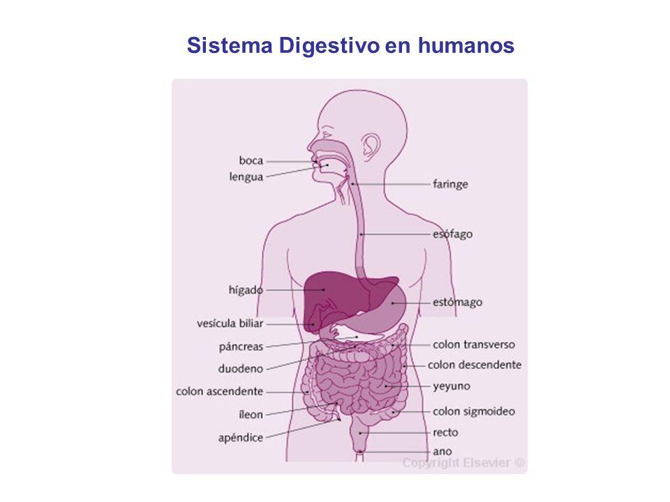 Sistema Digestivo en humanos