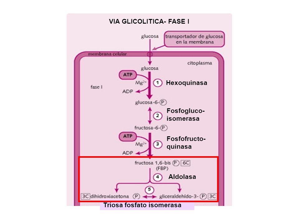 VIA GLICOLITICA- FASE I