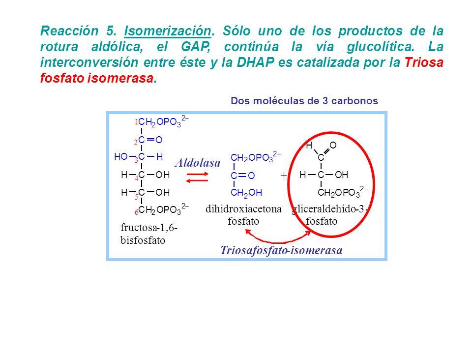 Dos moléculas de 3 carbonos