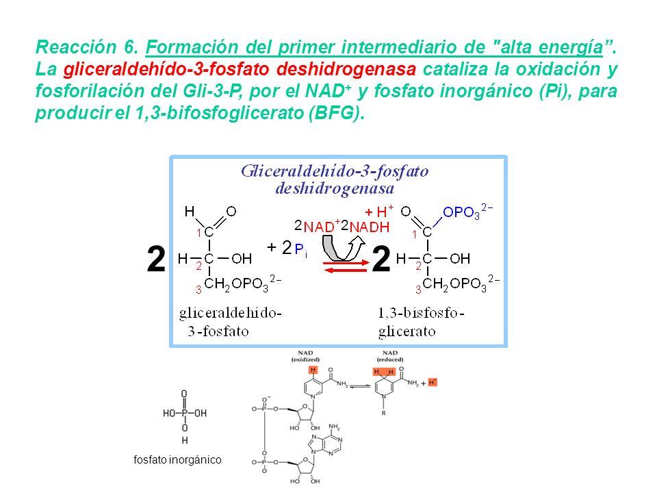 Reacción 6. Formación del primer intermediario de alta energía
