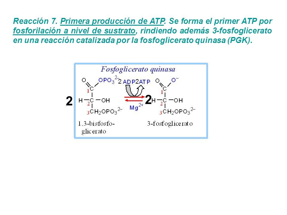 Reacción 7. Primera producción de ATP