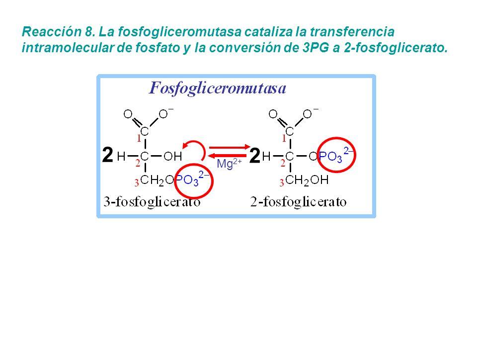 Reacción 8. La fosfogliceromutasa cataliza la transferencia intramolecular de fosfato y la conversión de 3PG a 2-fosfoglicerato.