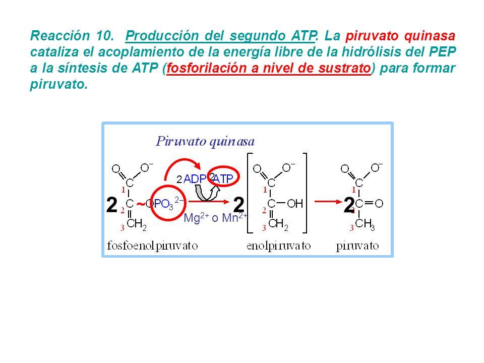 Reacción 10. Producción del segundo ATP