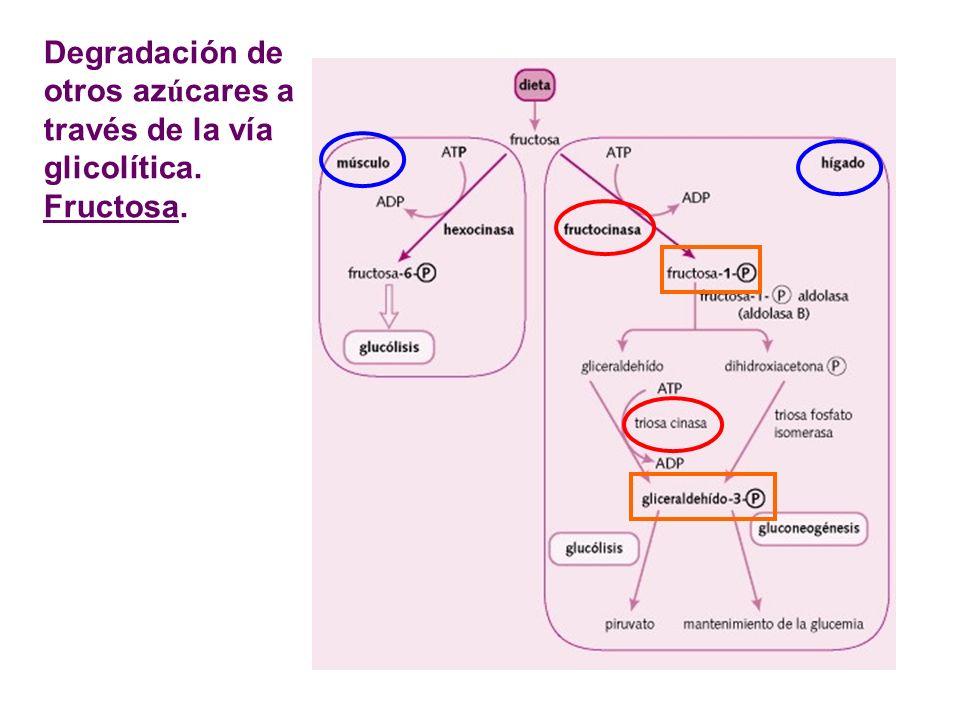 Degradación de otros azúcares a través de la vía glicolítica. Fructosa.