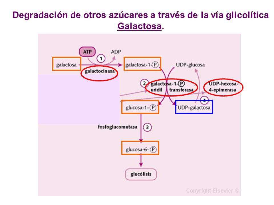 Degradación de otros azúcares a través de la vía glicolítica Galactosa.