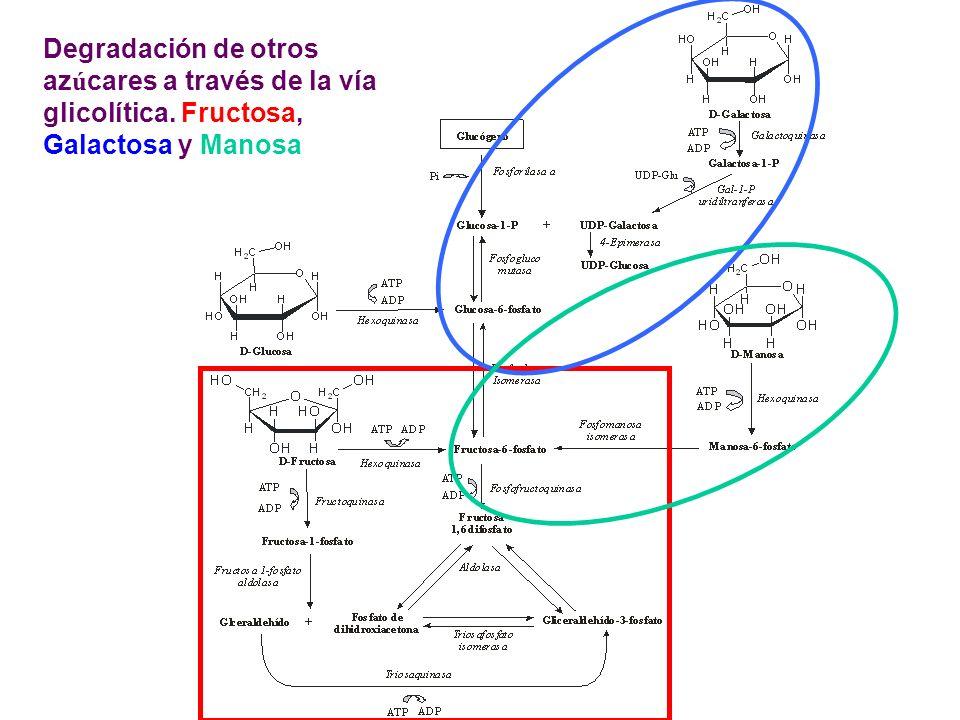 Degradación de otros azúcares a través de la vía glicolítica