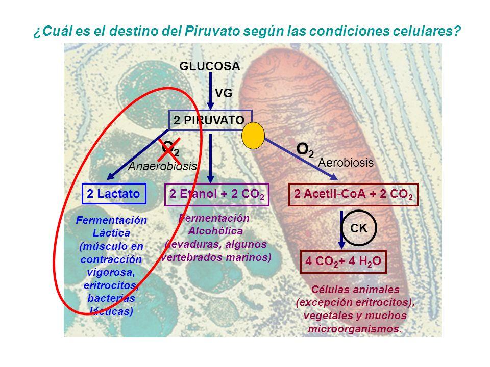 (músculo en contracción vigorosa, eritrocitos, bacterias lácticas)
