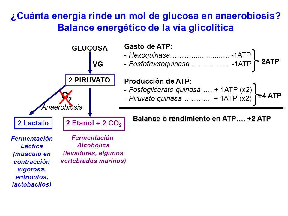 ¿Cuánta energía rinde un mol de glucosa en anaerobiosis