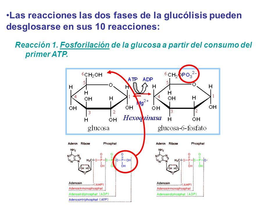 Las reacciones las dos fases de la glucólisis pueden desglosarse en sus 10 reacciones: